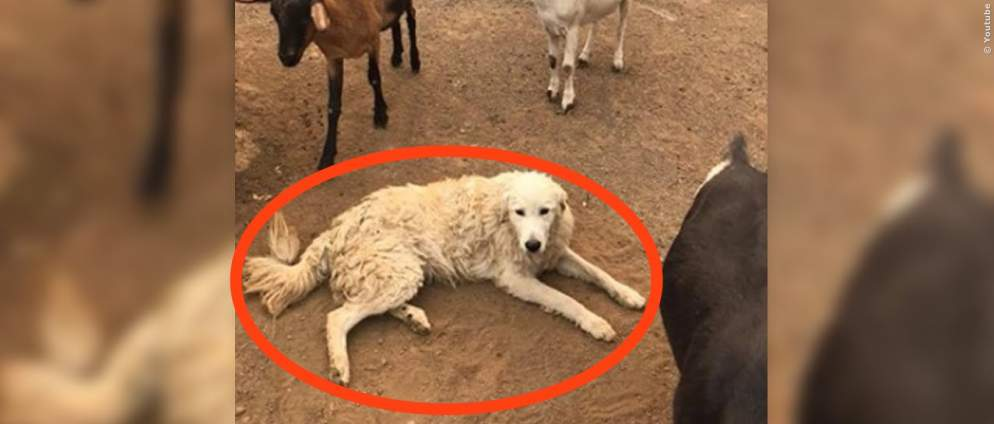 Video: Hund rettet Ziegen aus dem Feuer